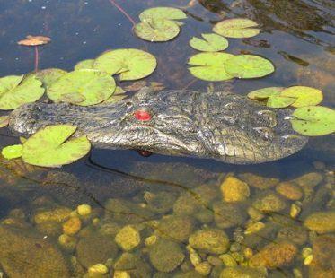 alligator head pond float side