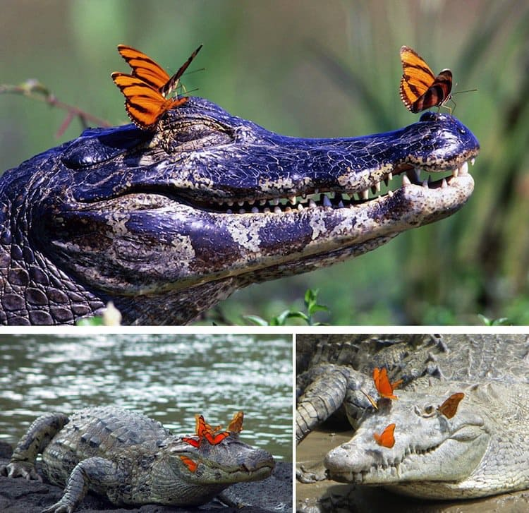 butterfly-alligator