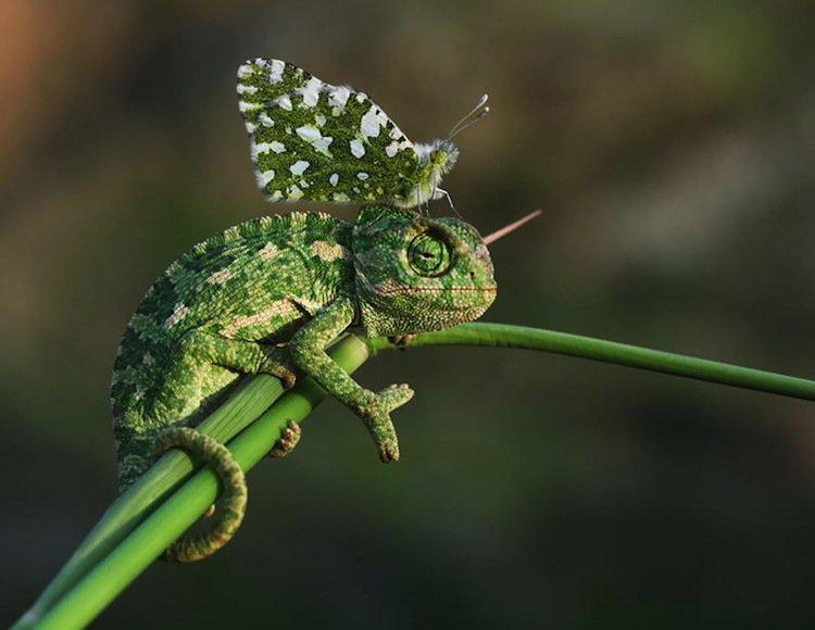 butterfly-chameleon