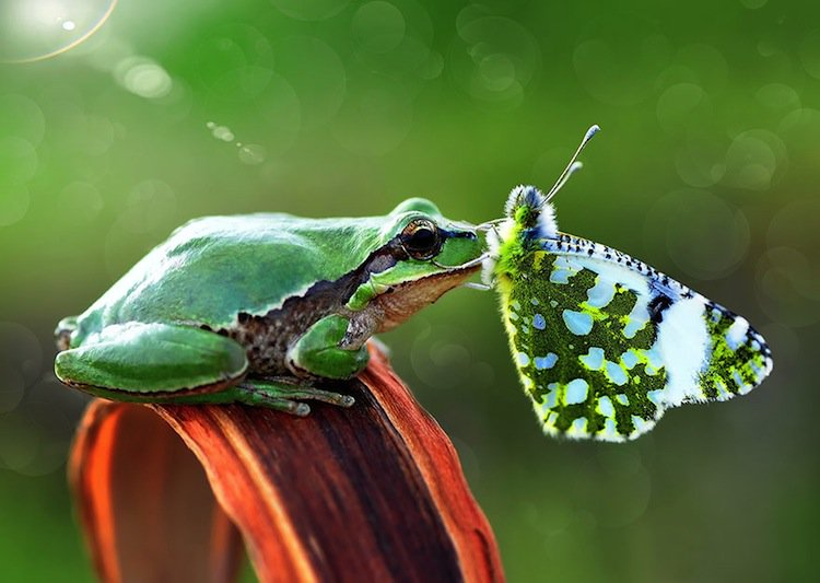butterfly-frog