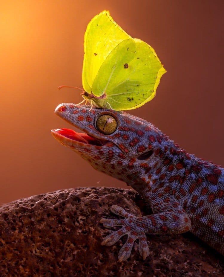 butterfly-gecko