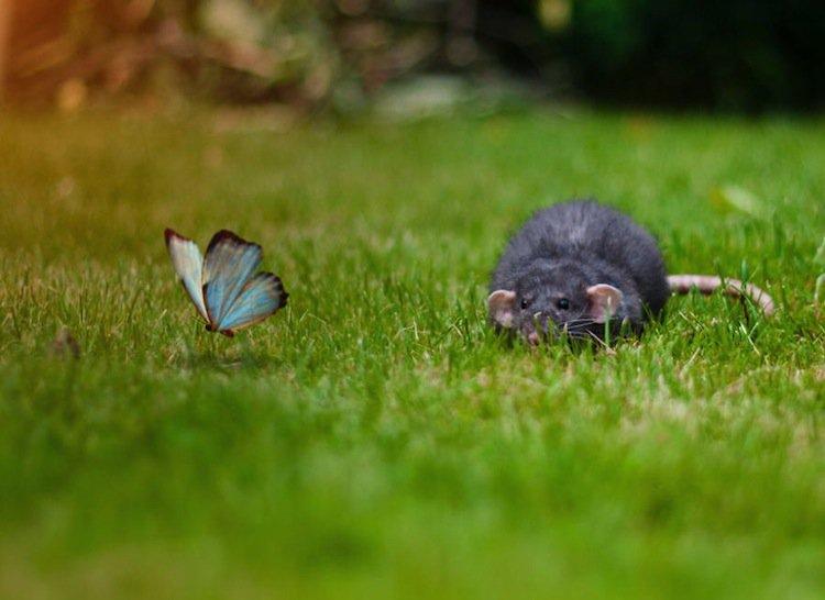butterfly-rat