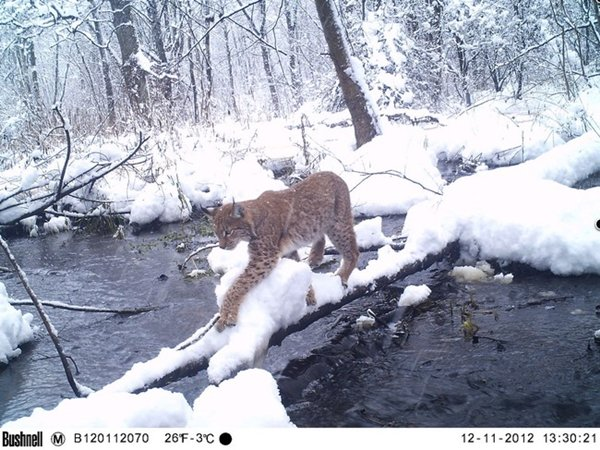 chernobyl-wildlife-cat