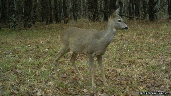 chernobyl-wildlife-doe