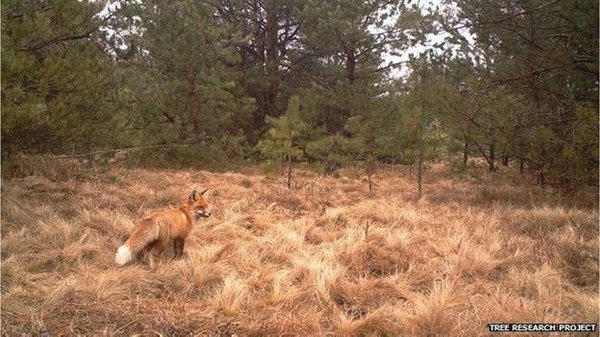 chernobyl-wildlife-fox