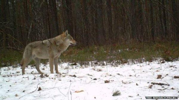 chernobyl-wildlife-lone-wolf