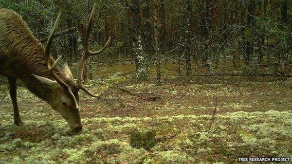 chernobyl-wildlife-stag