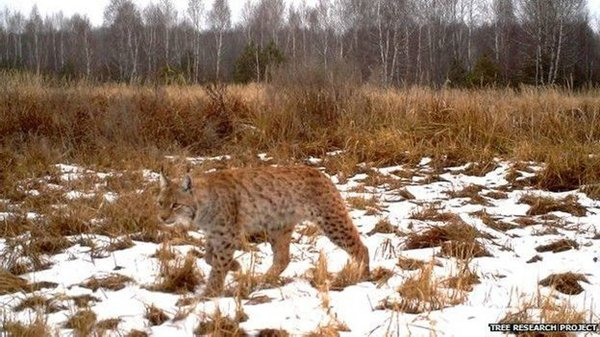 chernobyl-wildlife-wild-cat