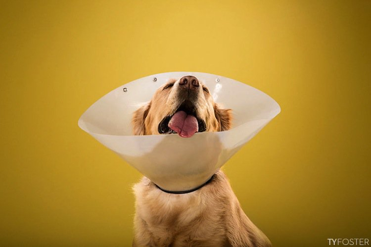 ty foster   cute   dogs wearing  cone  shame