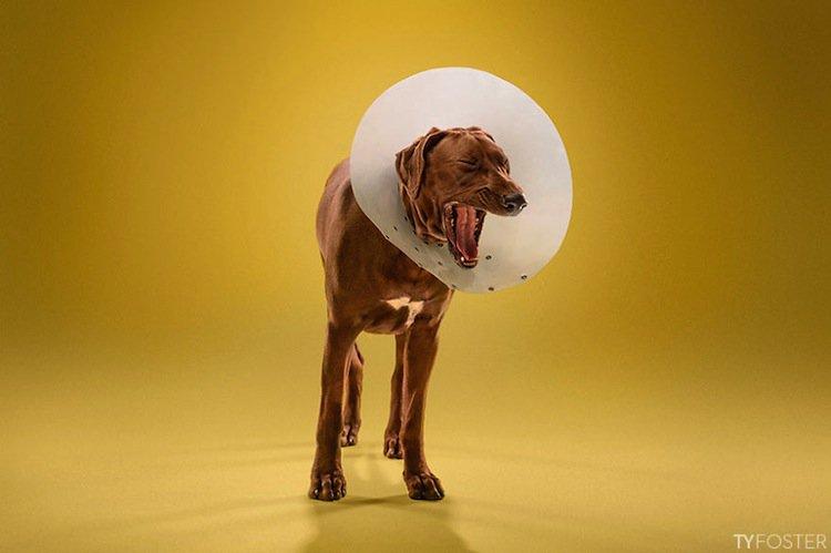 cone-dog-yawn