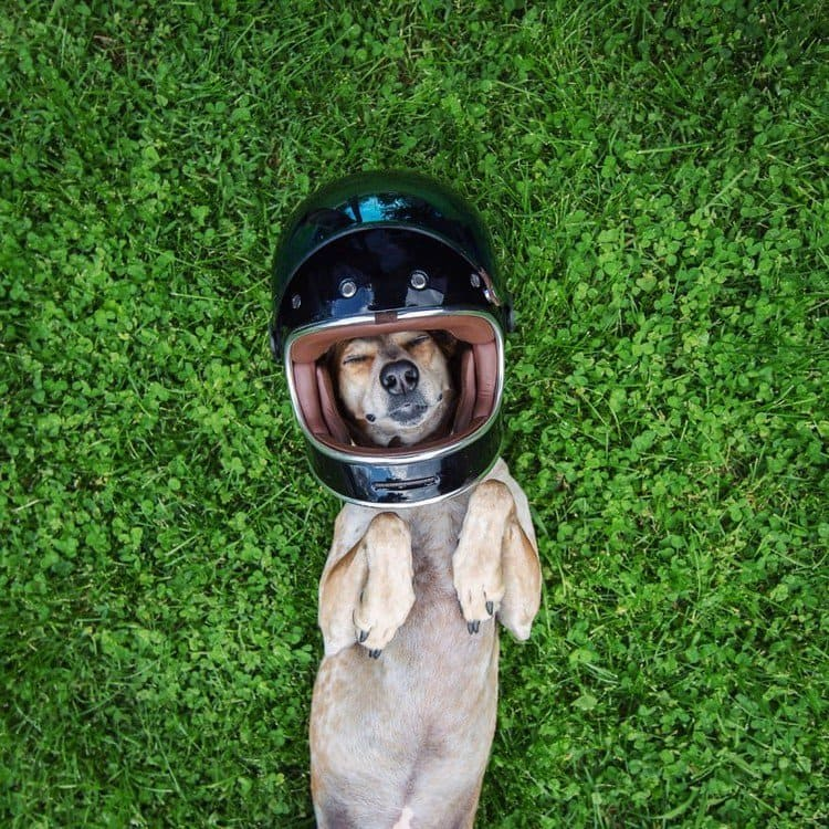dog crash helmet