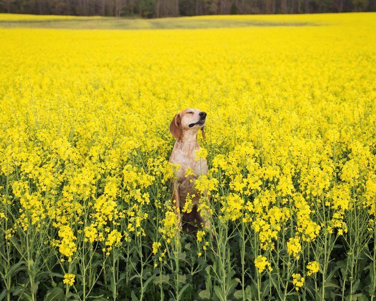 dog field yellow flowers