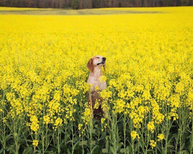 dog field yellow flowers