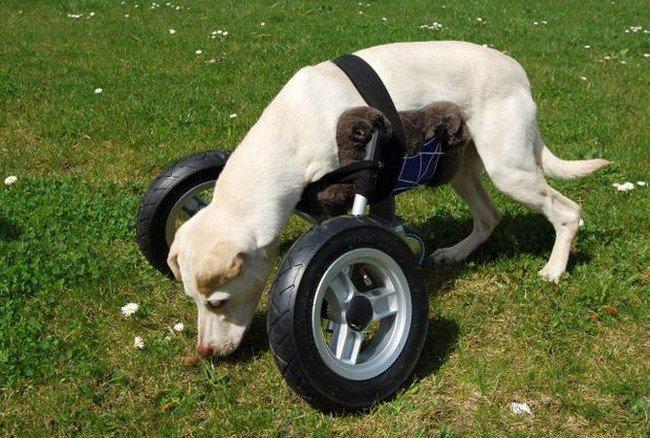 dog grass wheelchair