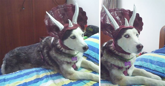 dog-triceratops
