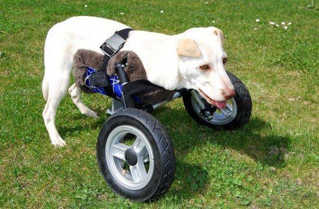 dog using wheelchair