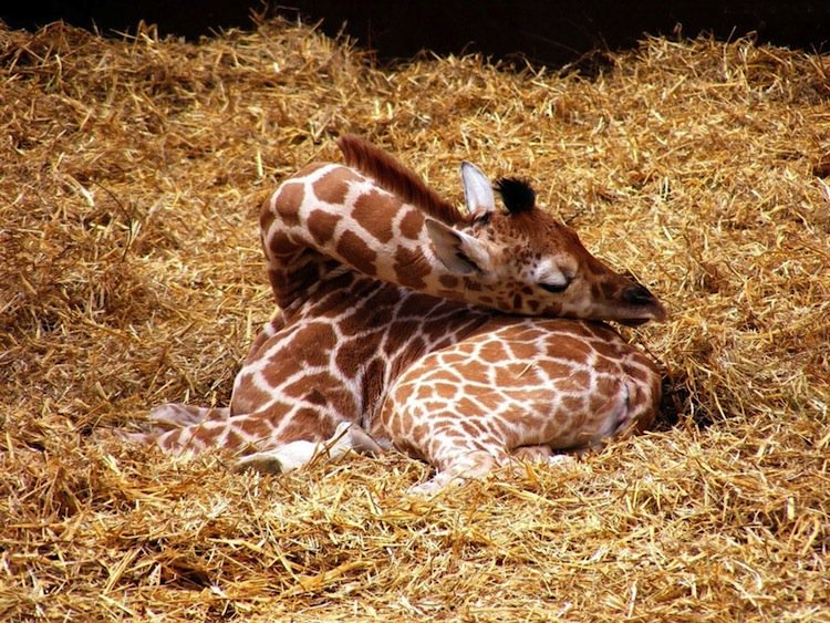 giraffe-sleeping