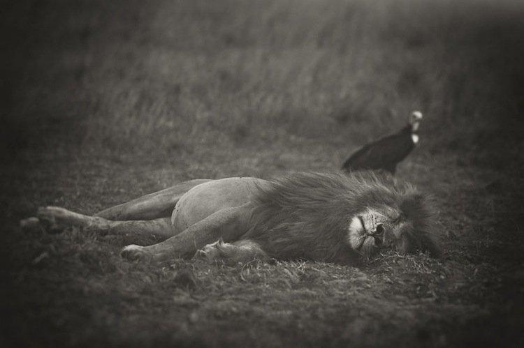 lion-vulture