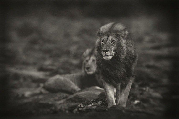 lions-hunter