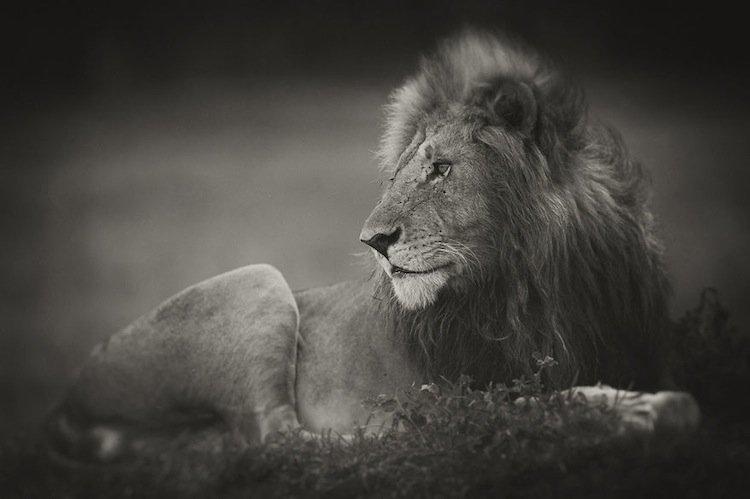 lions-morani-two