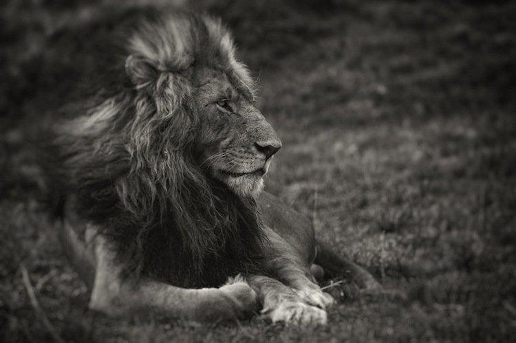 lions-morani