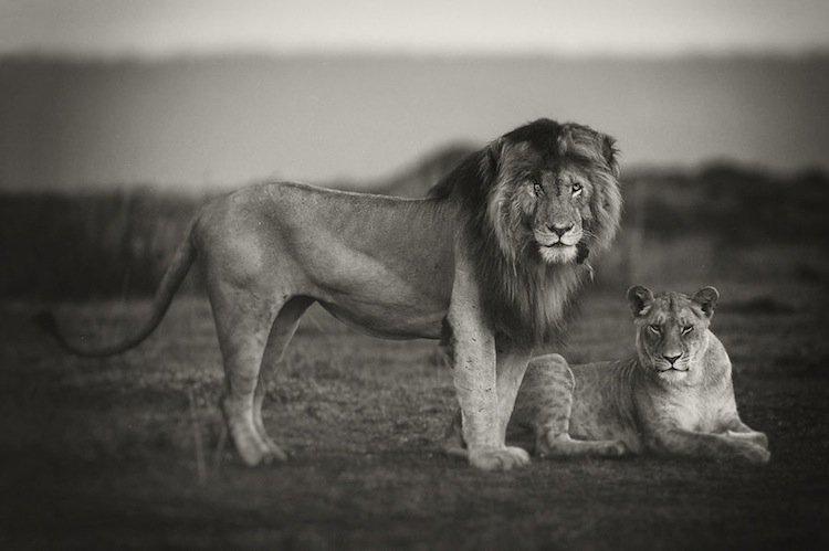 lions-scar