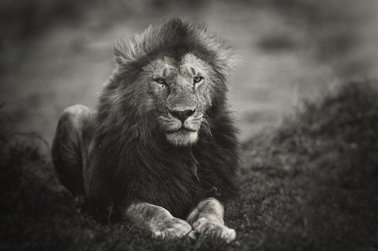 lions-sikio