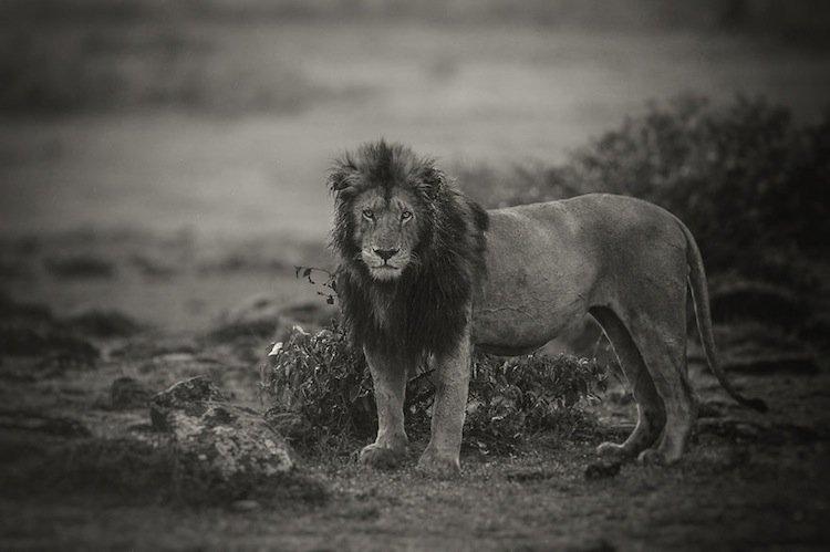 lions-wet