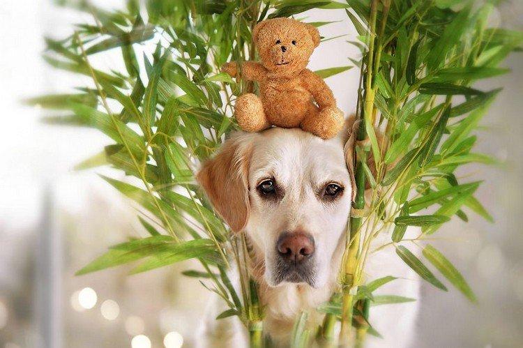 mali teddy head