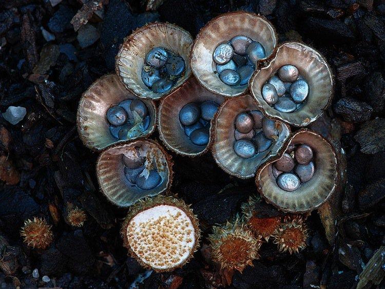 mushroom-blue-two