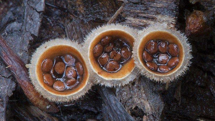 mushroom-pods