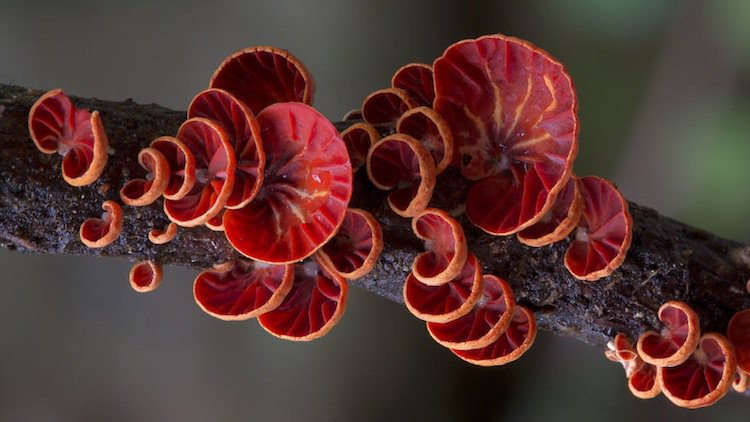 mushroom-red