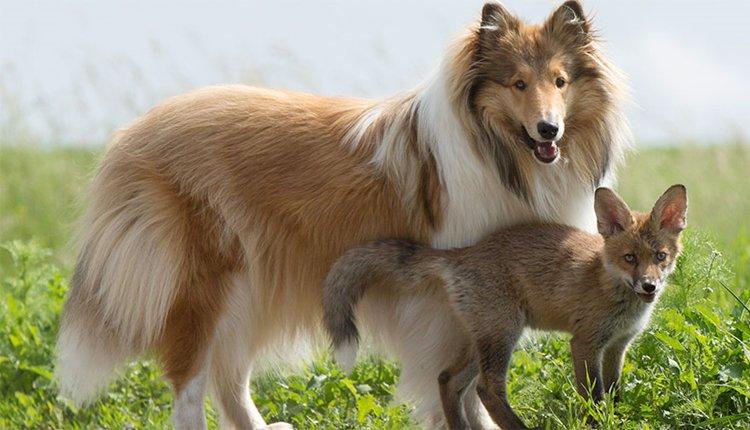 orphaned-fox-cub-adopted-dog-ziva-dinozzo-germany-all