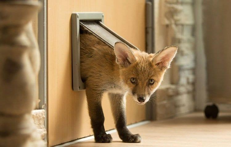 orphaned-fox-cub-adopted-dog-ziva-dinozzo-germany-door