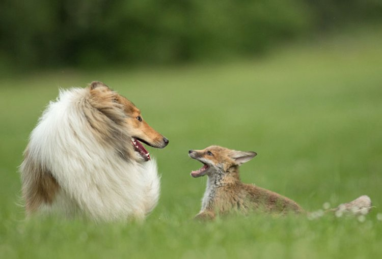 orphaned-fox-cub-adopted-dog-ziva-dinozzo-germany-look