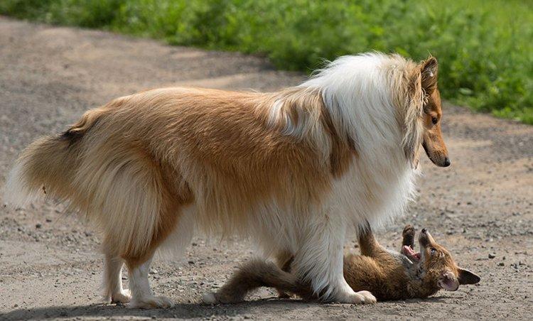 orphaned-fox-cub-adopted-dog-ziva-dinozzo-germany-play
