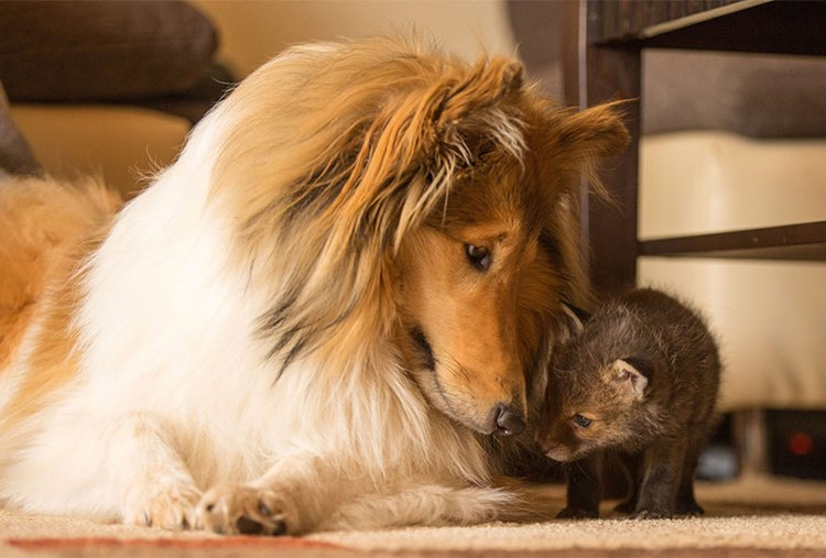 orphaned-fox-cub-adopted-dog-ziva-dinozzo-germany-sniff