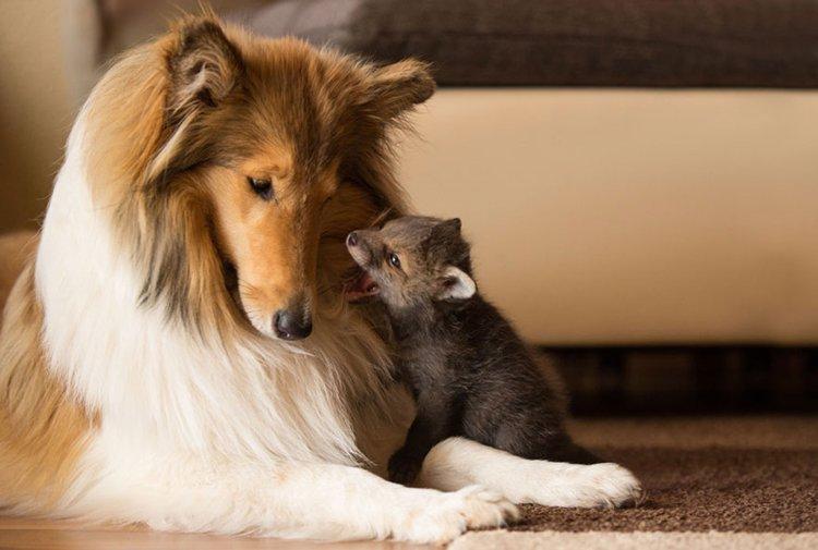 orphaned-fox-cub-adopted-dog-ziva-dinozzo-germany-up