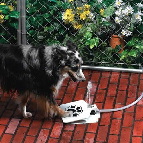 dog using water fountain by pressing paw on button