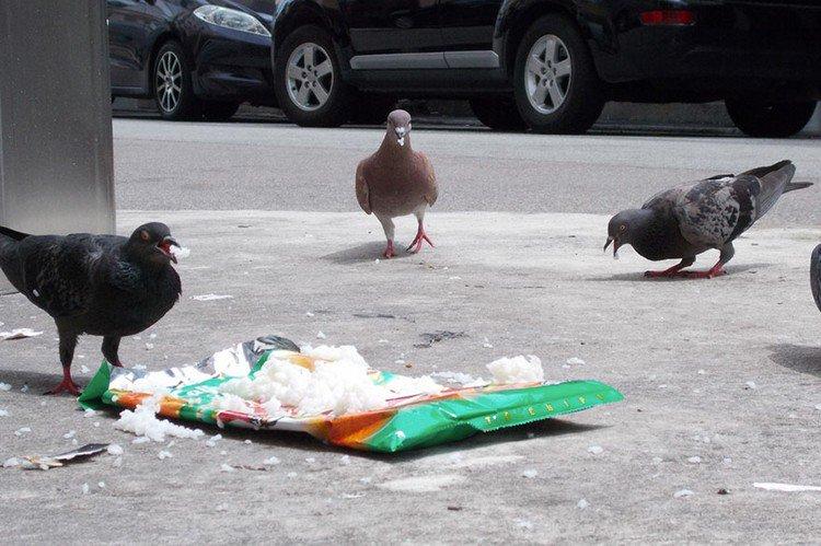pigeons rice