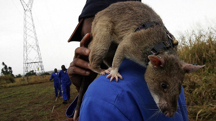 Giant African Rats Are Trained To Be Heroes And Sniff Out ...