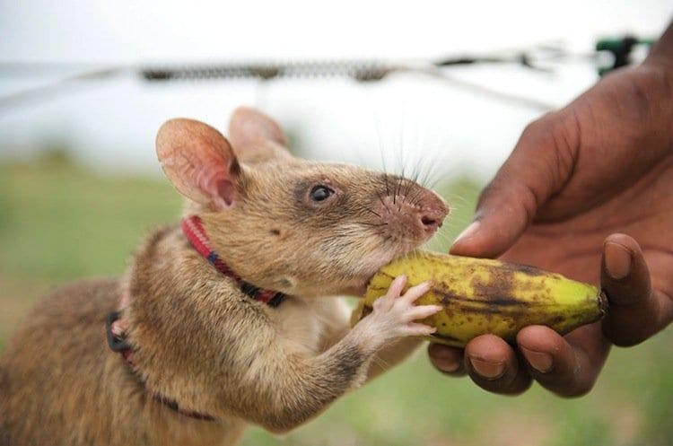 rats-banana
