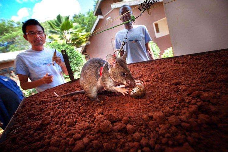 rats-bomb