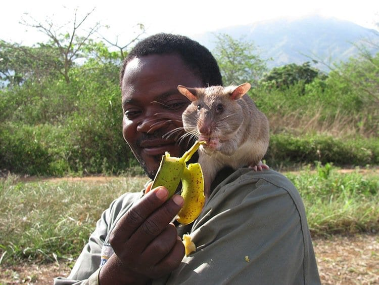 rats-fruit