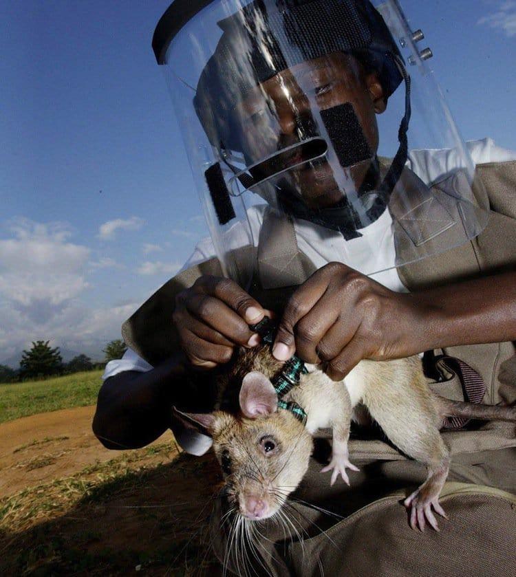 rats-human