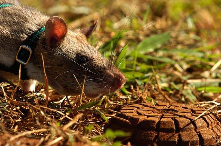 rats-nose