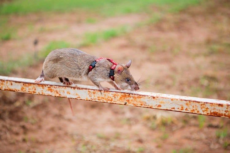 rats-operation