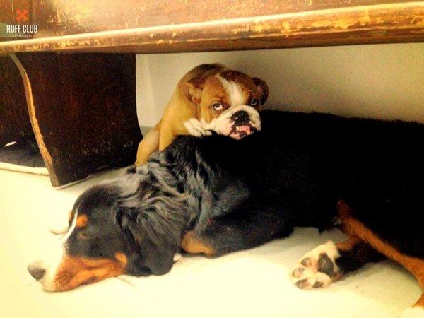 ruff-club-cuddle