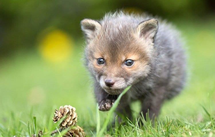 run-orphaned-fox-cub-adopted-dog-ziva-dinozzo-germany