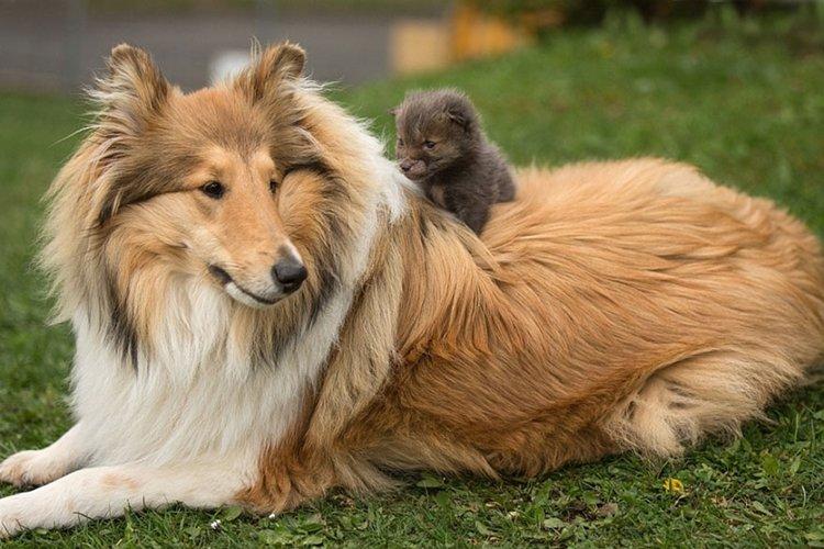 sit-orphaned-fox-cub-adopted-dog-ziva-dinozzo-germany